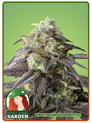 Headband Feminized Marijuana