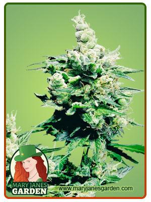 hash plant fem