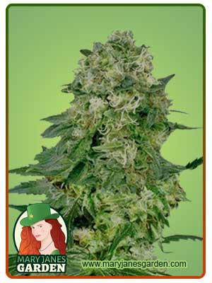 flower bomb kush marijuana feminized