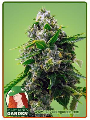 sour diesel marijuana